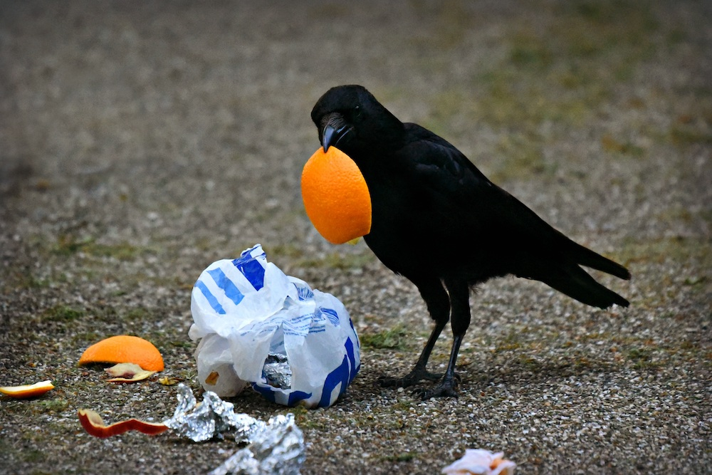 An all black American crow lifts a piece of orange peel from litter.