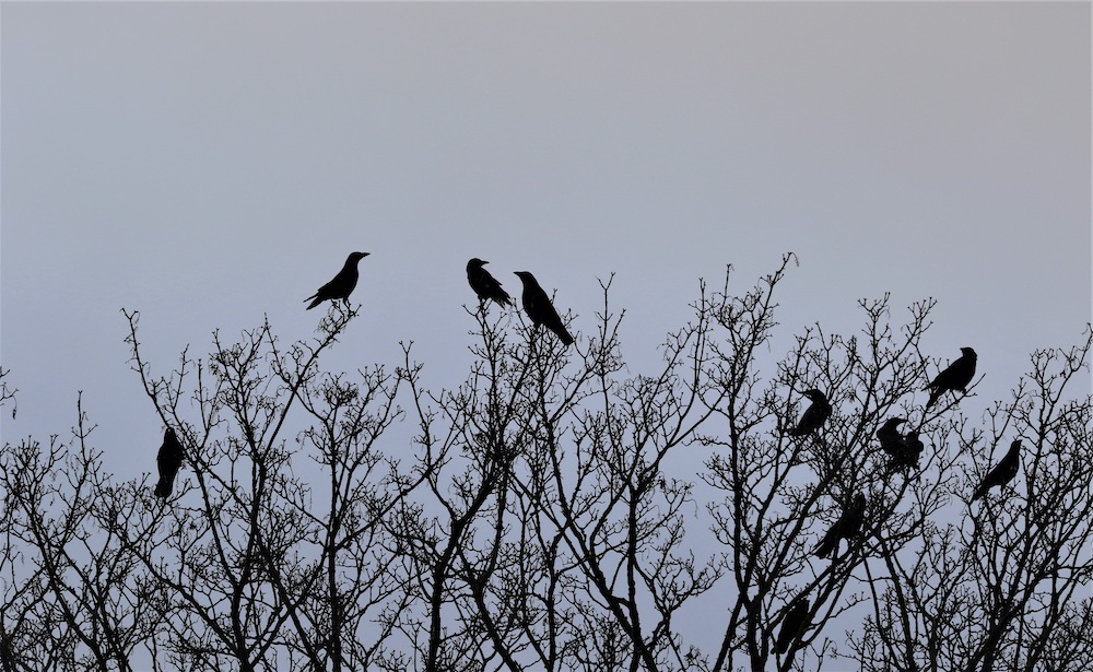 A murder of crows perch on the very top of a tree in winter. In the background is a gray-blue sky.