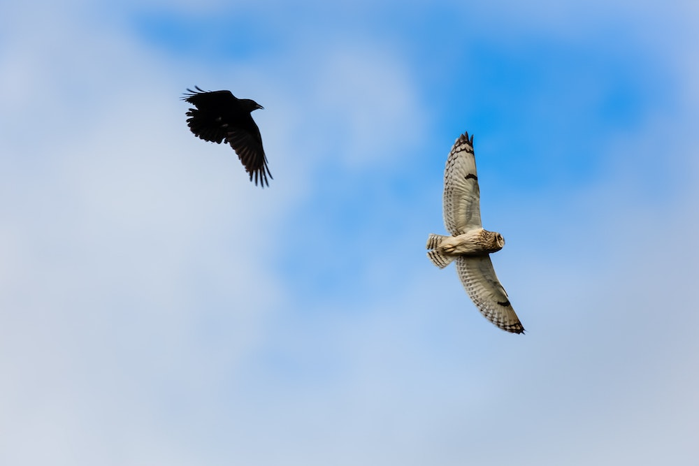 An all black crow chases an owl in flight. A partly cloudy sky is in the background.
