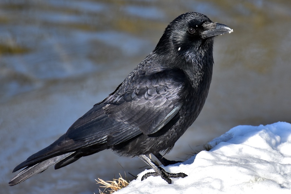 An all black crow stands on a snowy bank of a wetland.
