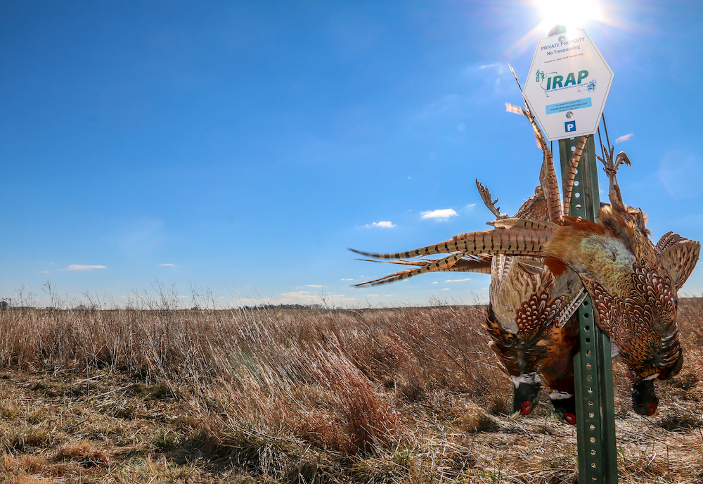 On the right side of the foreground hangs four successfully harvested ring-necked pheasants on a post. On the post is a sign indicating it is an Illinois Recreational Access Program area. In the background is a grassland under a blue sky.