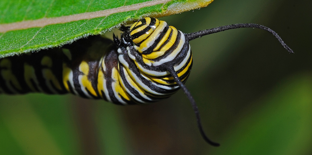 A monarch caterpillar with just its head peeking out from under a leaf. It is paused mid-munching at the leaf.