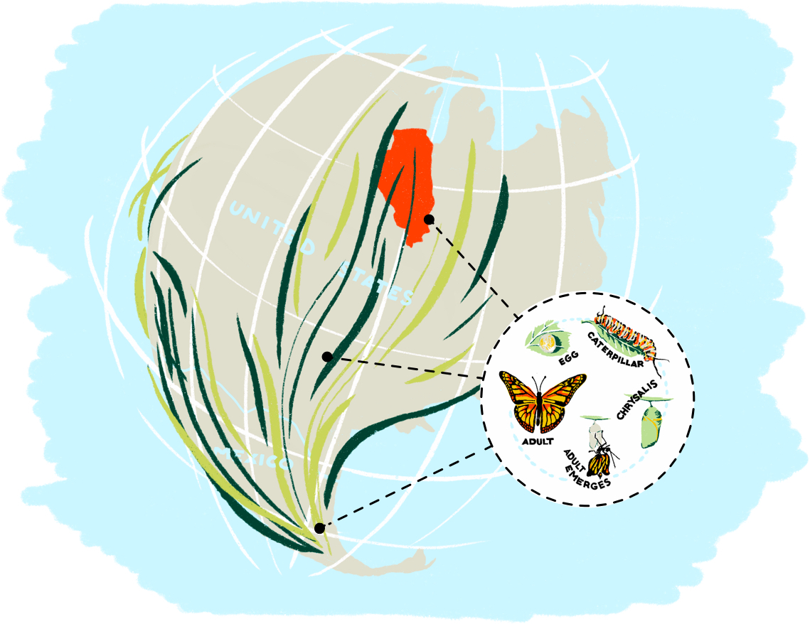 An illustration of a map of North and Central America indicating the migration journey monarch butterflies each year.