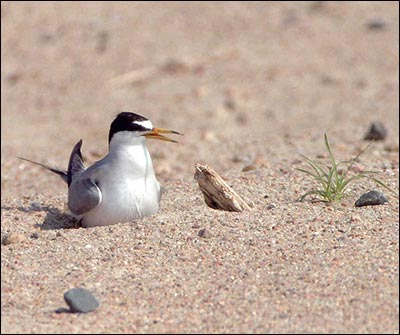 A shorebird with black feathers on its head and white and gray feather everywhere else sits in the sand. The bird has a long narrow yellow beak with black tips.