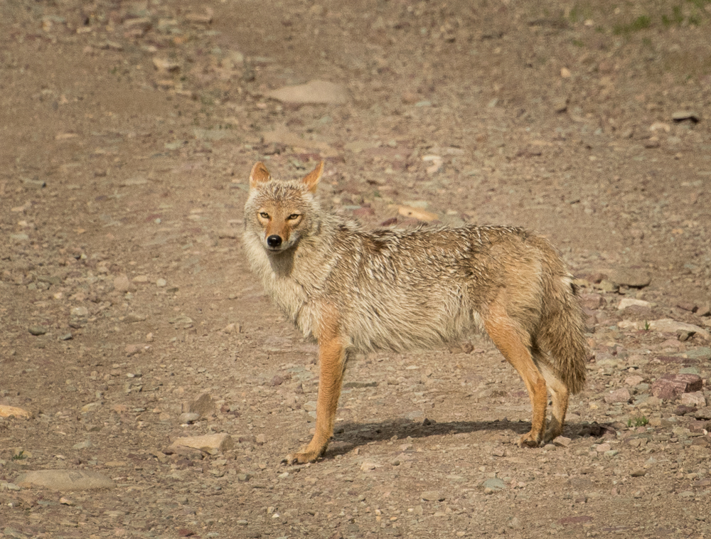 A tan and brown coyote stands momentarily on a gravel road.