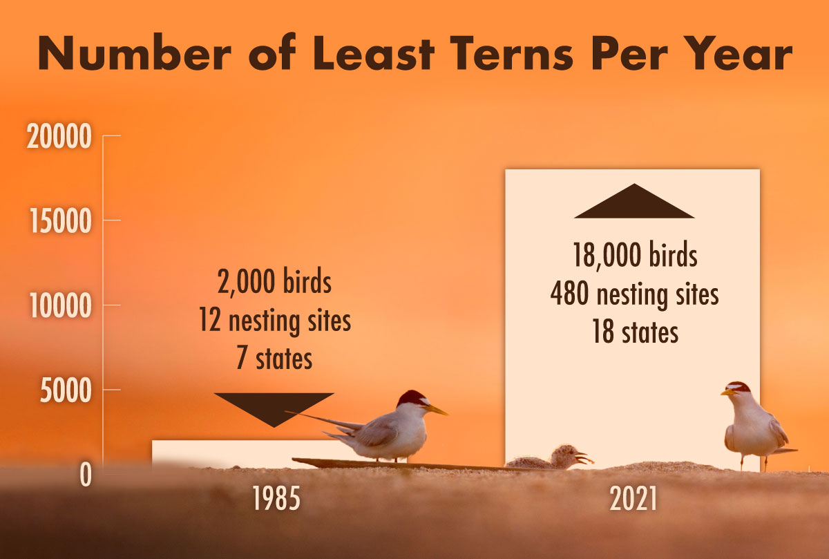 A graph indicating the number of Least Tern shorebirds for the years of 1985 and 2021.