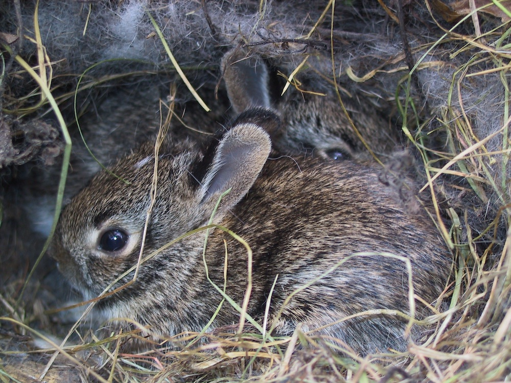 Baby cottontail rabbits in a grassy nest.