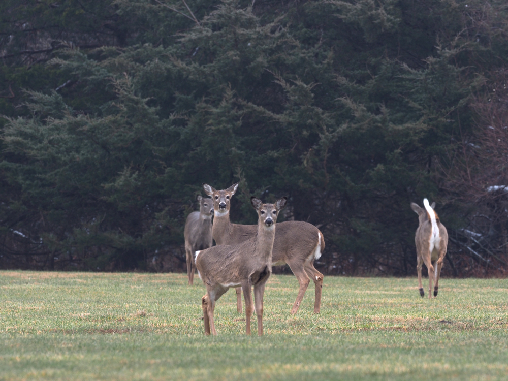 A group of gray, brown deer stand alert in a grassy area. One deer turns around and flees the area. Evergreen trees are in the background.