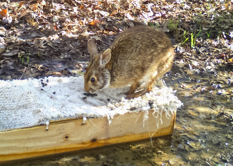 A brown and tan rabbit sitting on top of a researcher's wooden trap in a woodland surrounded by leaf litter.