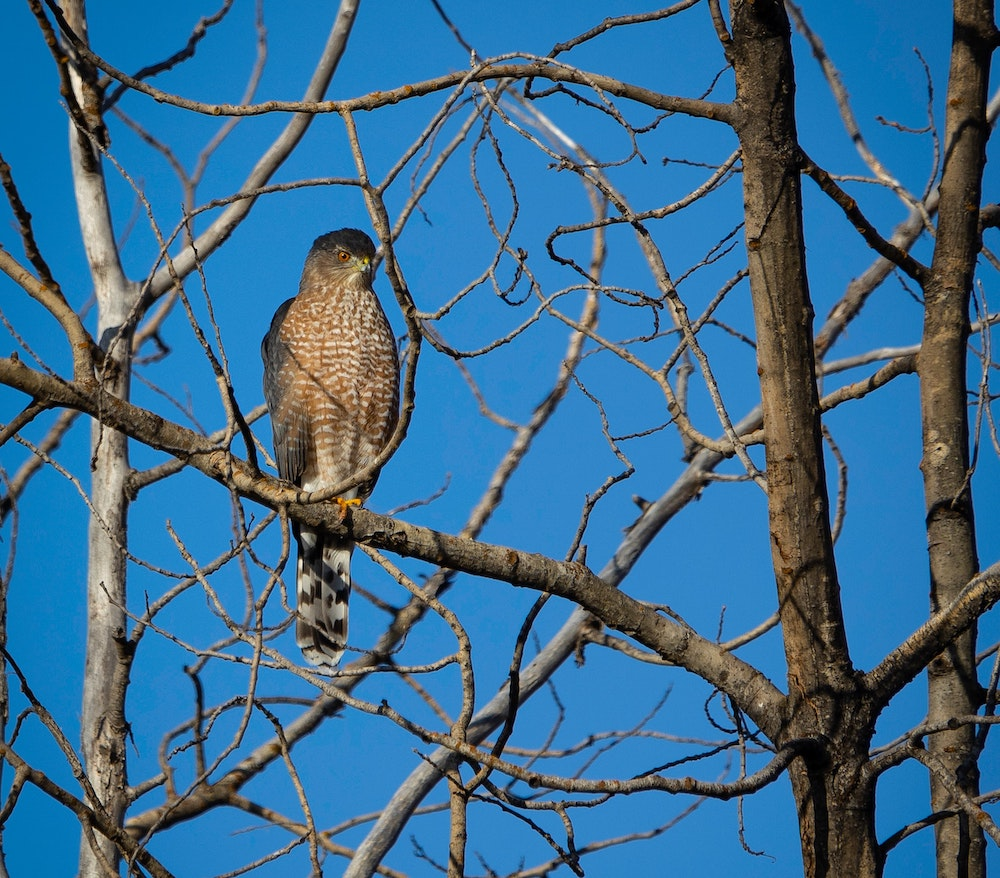 A reddish brown, gray, and white hawk perched on a tree branch. A blue sky is in the background.