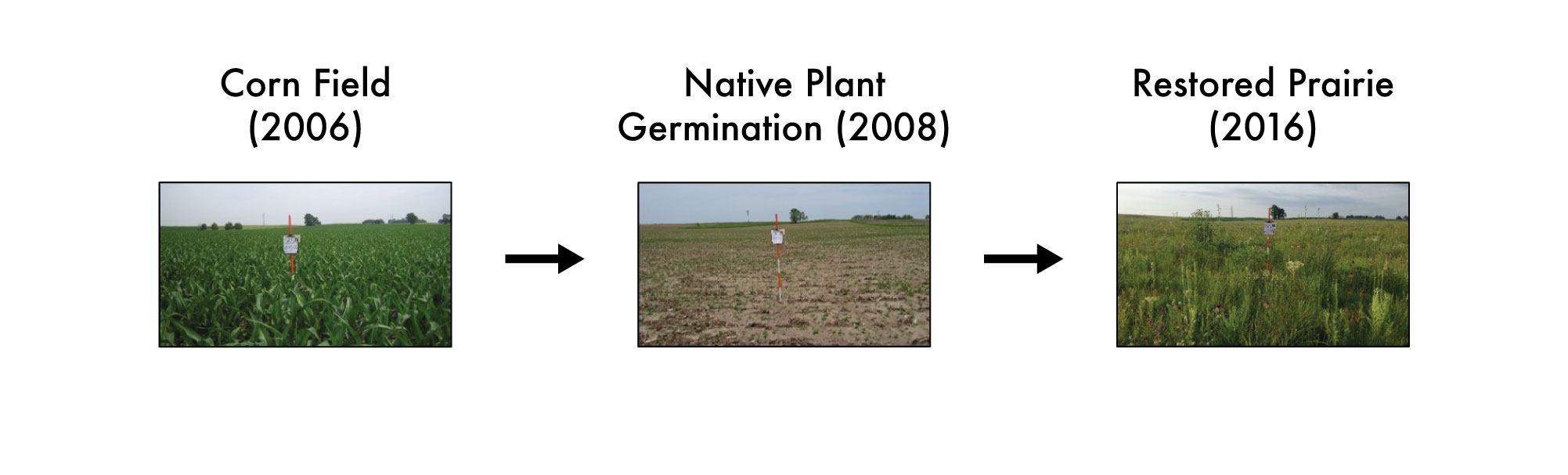 A graphic showing the progression of prairie restoration from cornfield, to native plant germination, and finally to restored prairie.