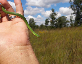 A researcher holds up a small green snake. In the background, is a prairie, a line of trees, and a partly cloudy sky.