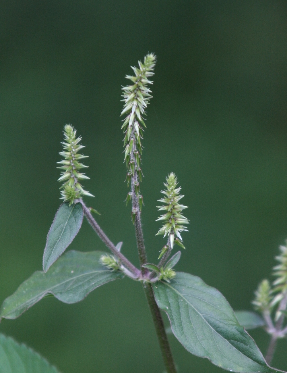 A plant with lanceolate leaves has spiky greenish-white, brush-like flowers.