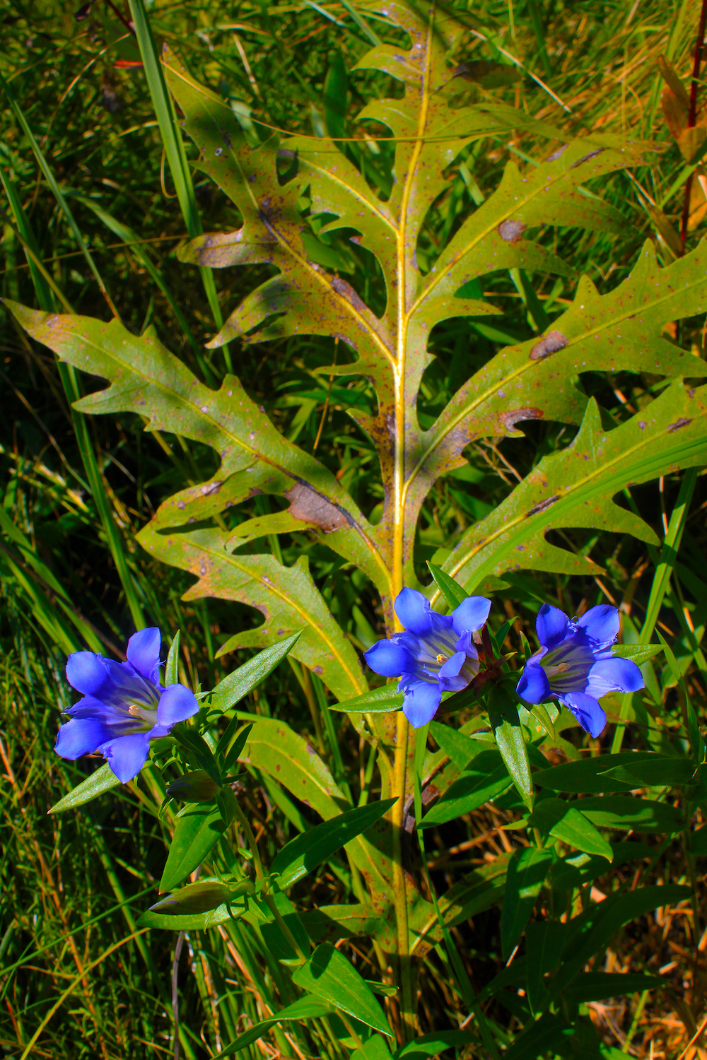 Blue flowers are nestled against a large compass plant leaf in a prairie. Grasses are in the background.