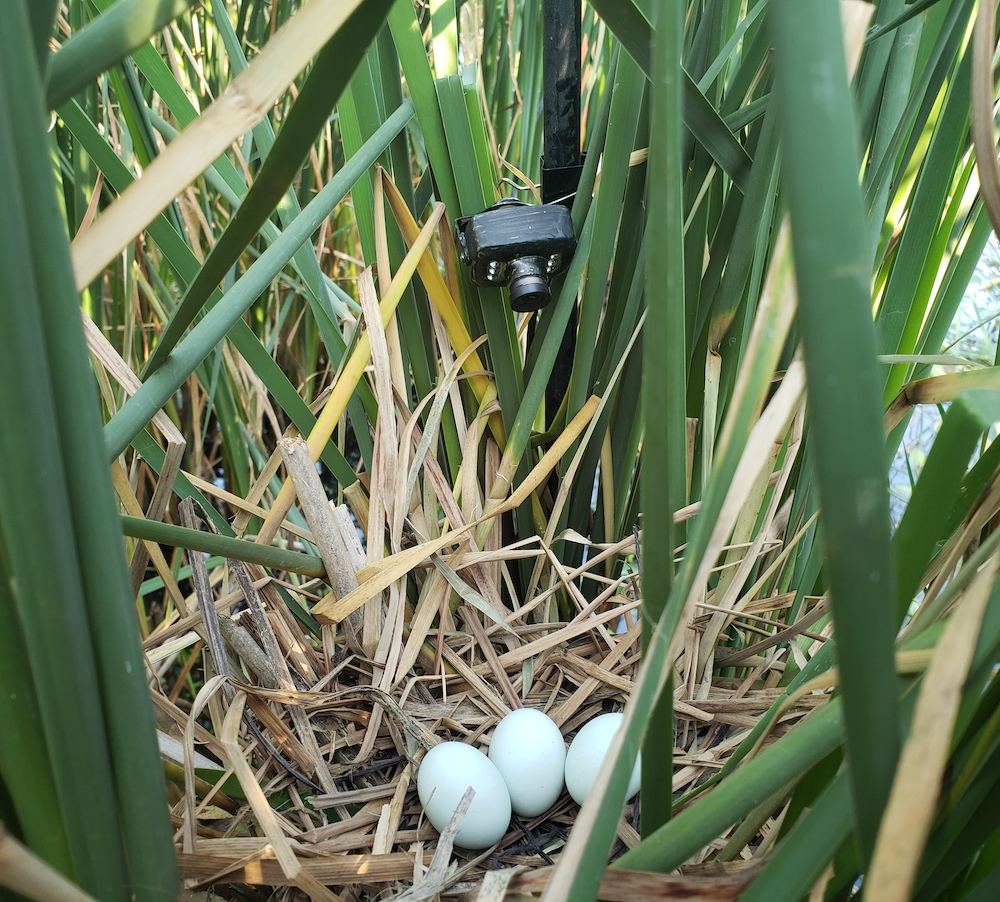 A camera posed above a cattail nest with eggs records the activity of marsh birds.