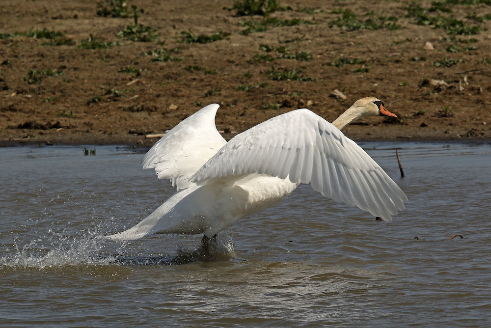 An all white swan with an orange beak  begins to take off from a wetland area it was foraging at.