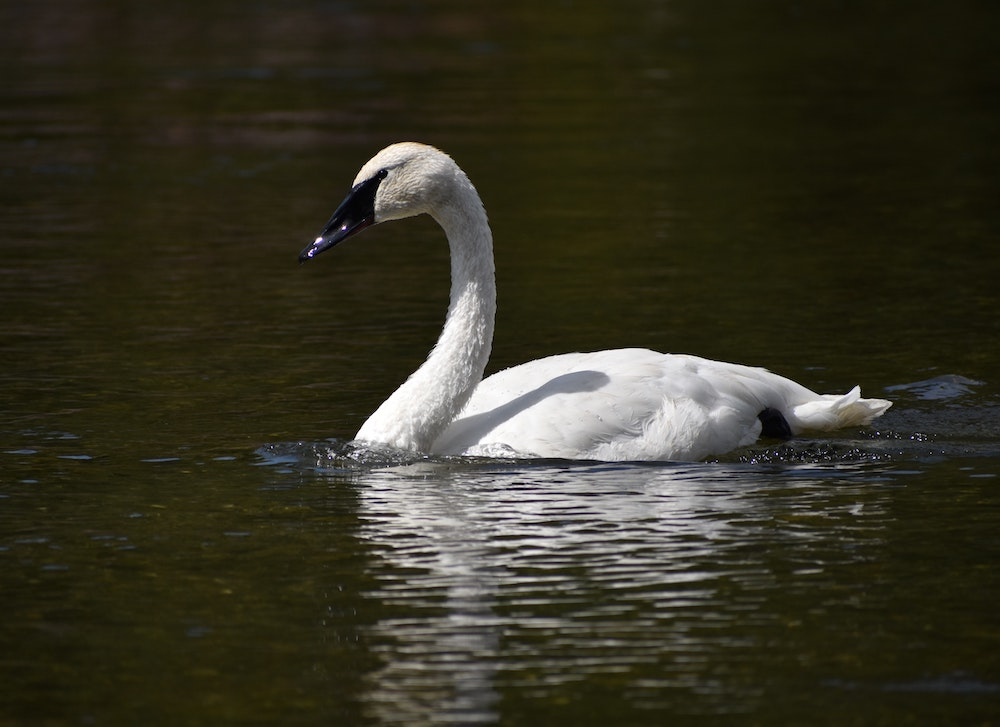 A white swan with a all black beak swims on a body of water.