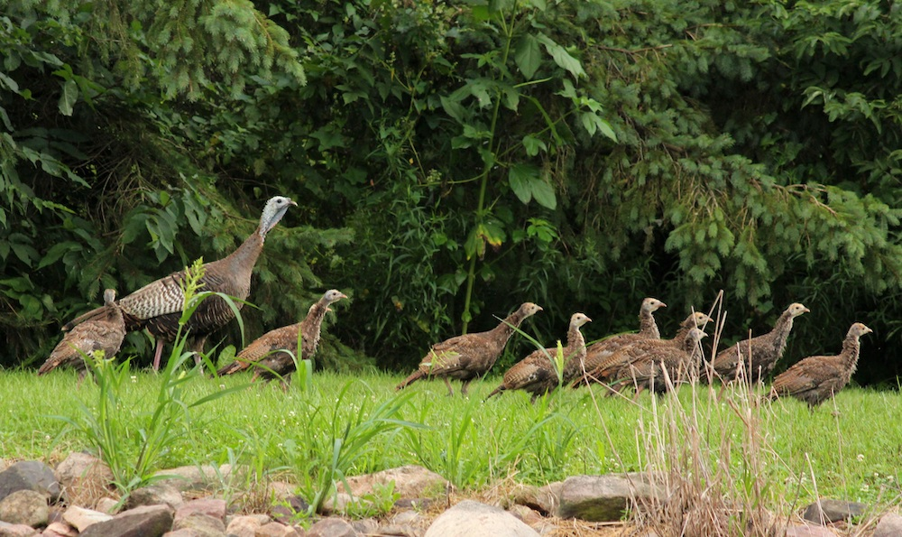 A female adult hen turkey with her brood of young poults foraging in a grassy area near the edge of a woodland.