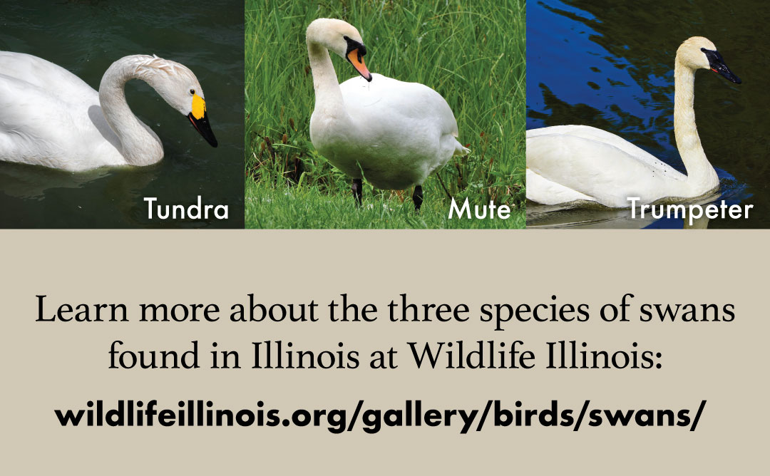A graphic with a link wildlifeillinois.org/gallery/birds/swans/ where you can learn more about the three species of swans found in Illinois. Above the text is three images of swans arranged across the top.