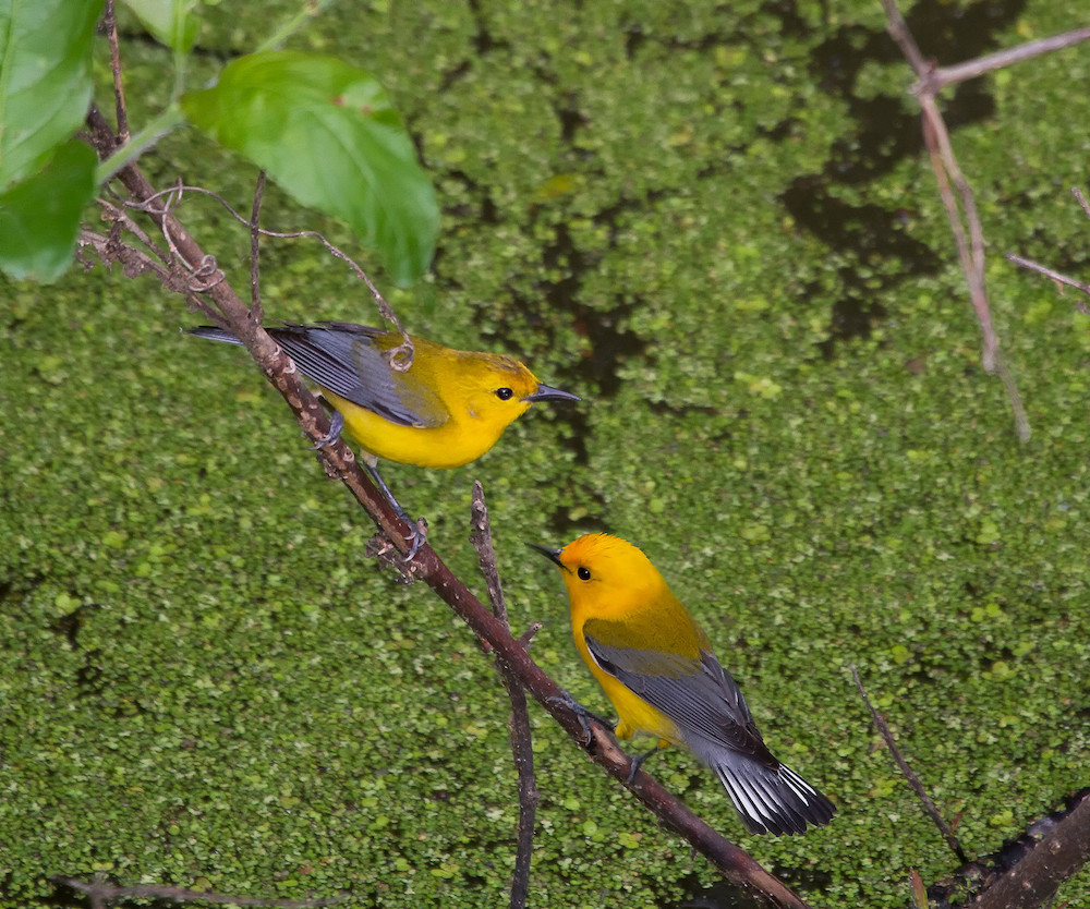 Two yellow birds with gray wings perch on a stick inches above the water of a wetland.