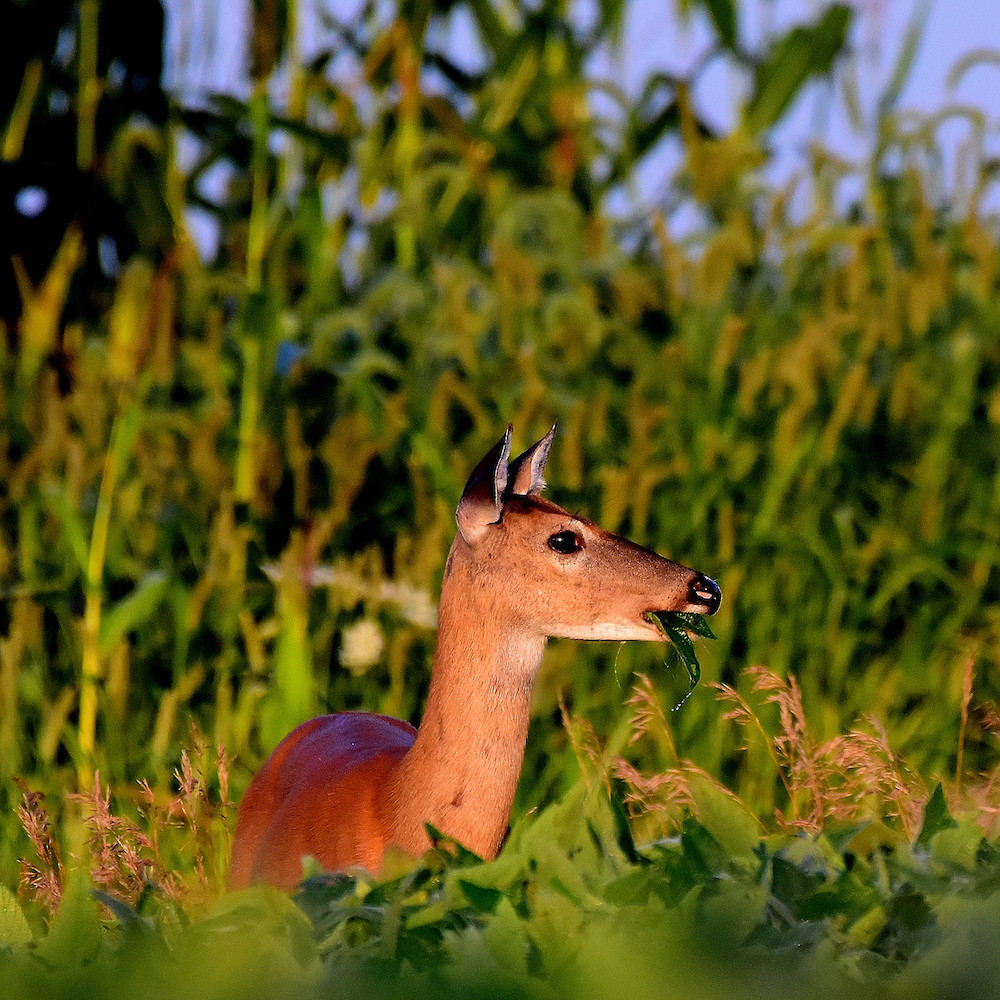 A reddish, tan adult female white-tailed deer eats a soybean leaf while standing in a soybean field during the summer. In the background is a corn field.