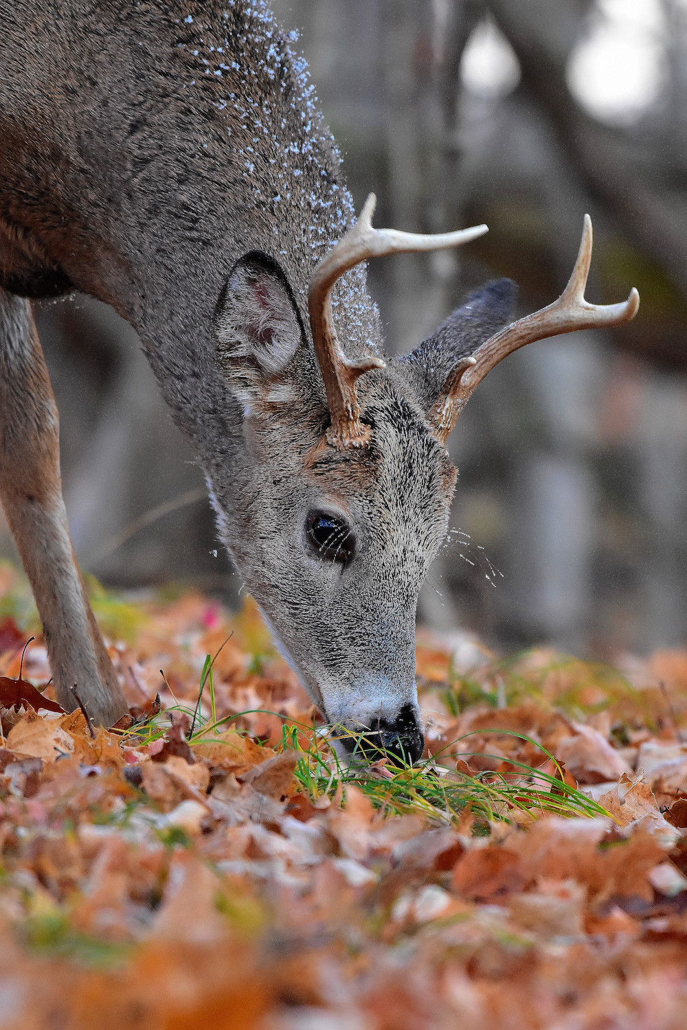 A gray, brown adult male white-tailed deer forages for food on the forest floor. The deer has a little snow on its fur.