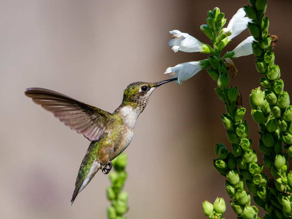 A green and white hummingbird nectars on a white flower of a prairie plant.