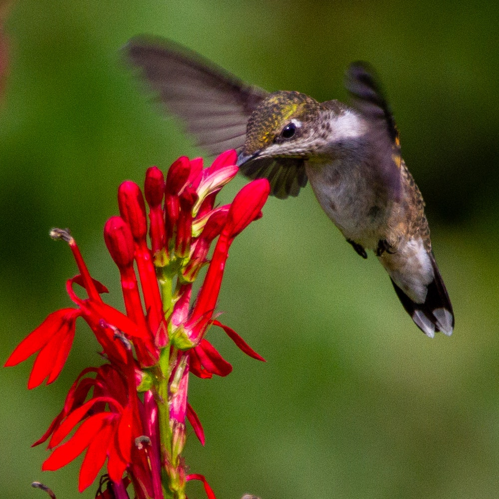 A green and white hummingbird sipping nectar from a red tubular flower while hovering in mid-air.