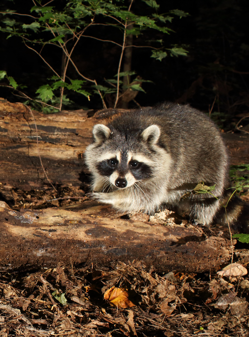 A black, gray, and white raccoon pauses while foraging amongst a fallen decaying log at night.