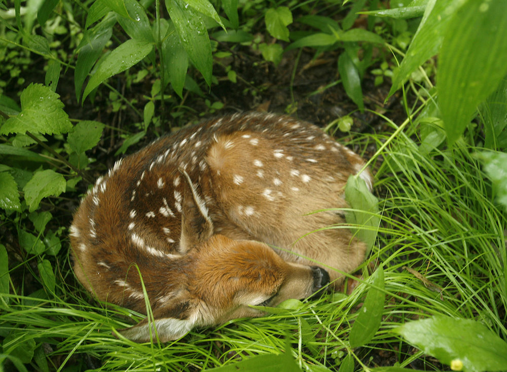 A spotted white-tailed deer fawn rests curled up in the understory of a forest. Green, lush vegetation surrounds the fawn.