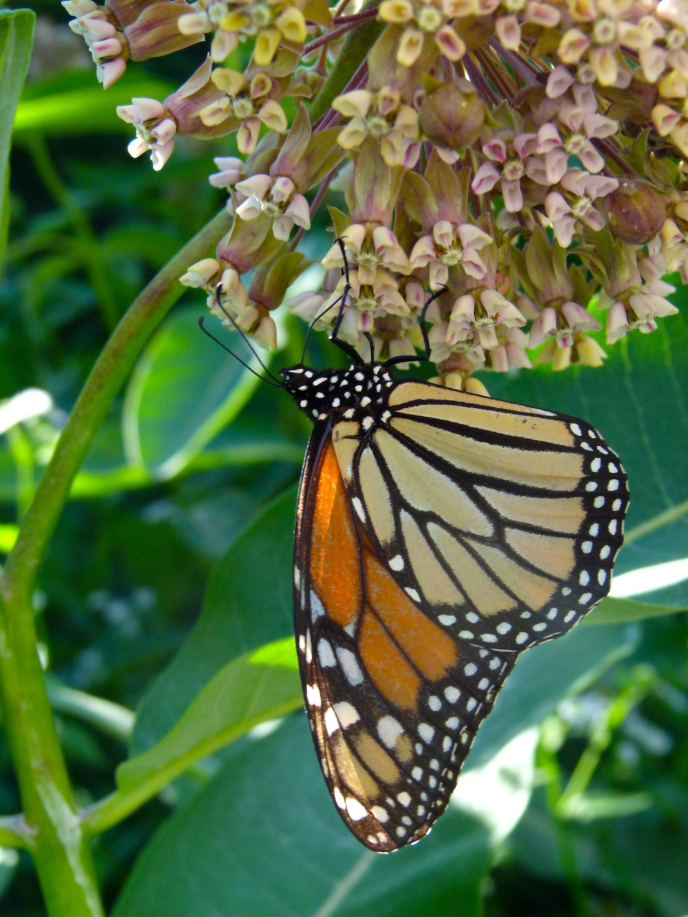 An orange, yellow, black, and white monarch butterfly nectars on a cluster of pinkish, white milkweed flowers.