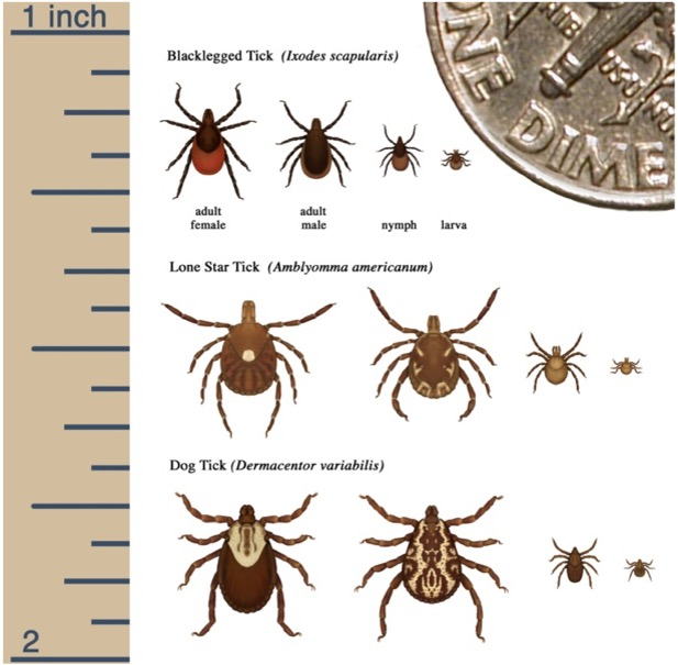A graphic comparing the three most commonly encountered ticks in Illinois including the Blacklegged tick, the Lone Star tick, and the Dog tick.