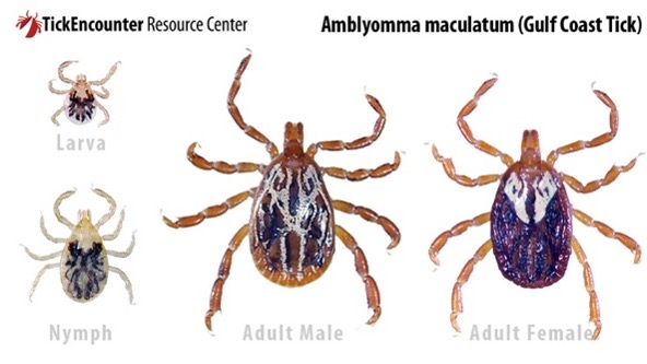 A graphic indicating a new tick invading from the south into Illinois. It is called the Gulf Coast tick, and it is brown with tan markings on its back.