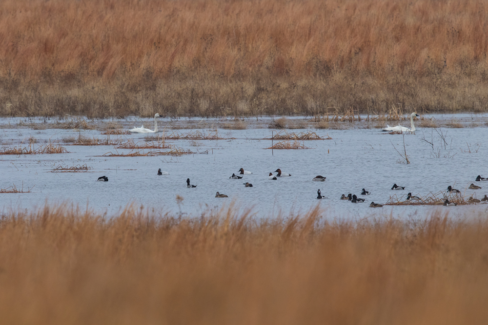 Several species of waterfowl swim and forage on a wetland during winter. Tan grasses are on either side of the wetland.