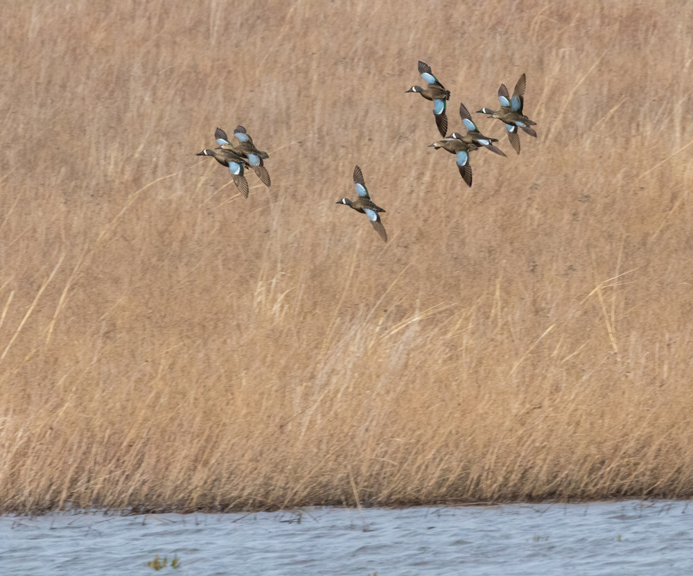 A group of ducks with blue on the middle of their wings come in for a landing on a wetland. tan grasses are in the background.