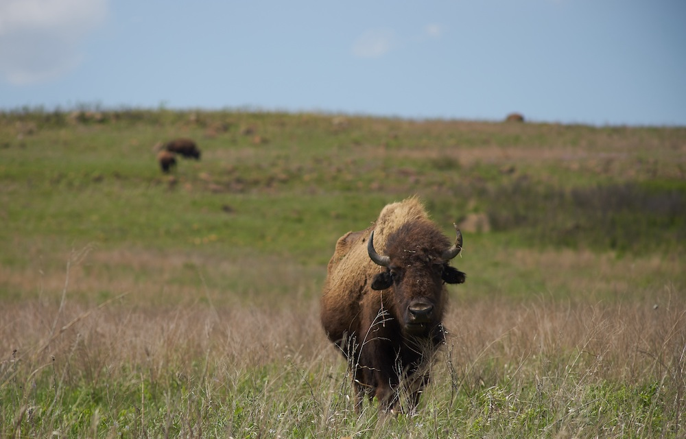 A few bison grazing on a grassland. One bison looks up in the foreground. In the background is a blue sky.