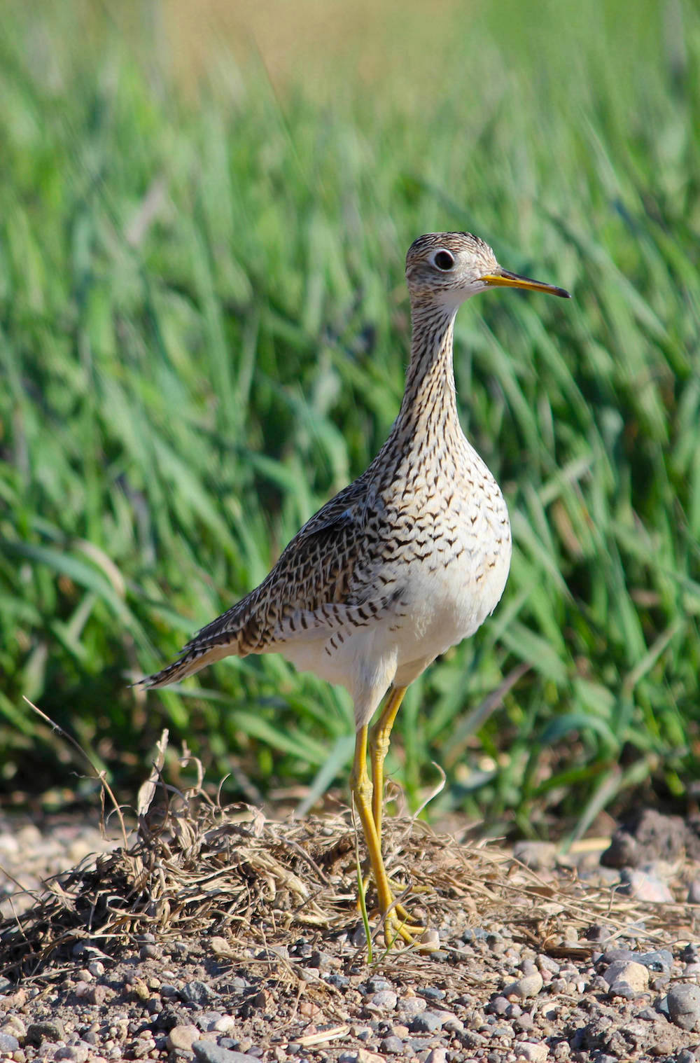 A wetland birdbird speckled with white, dark brown, tan, and gray with long yellow legs and a long beak stands on a mound of gravel. In the background is a green agricultural field.