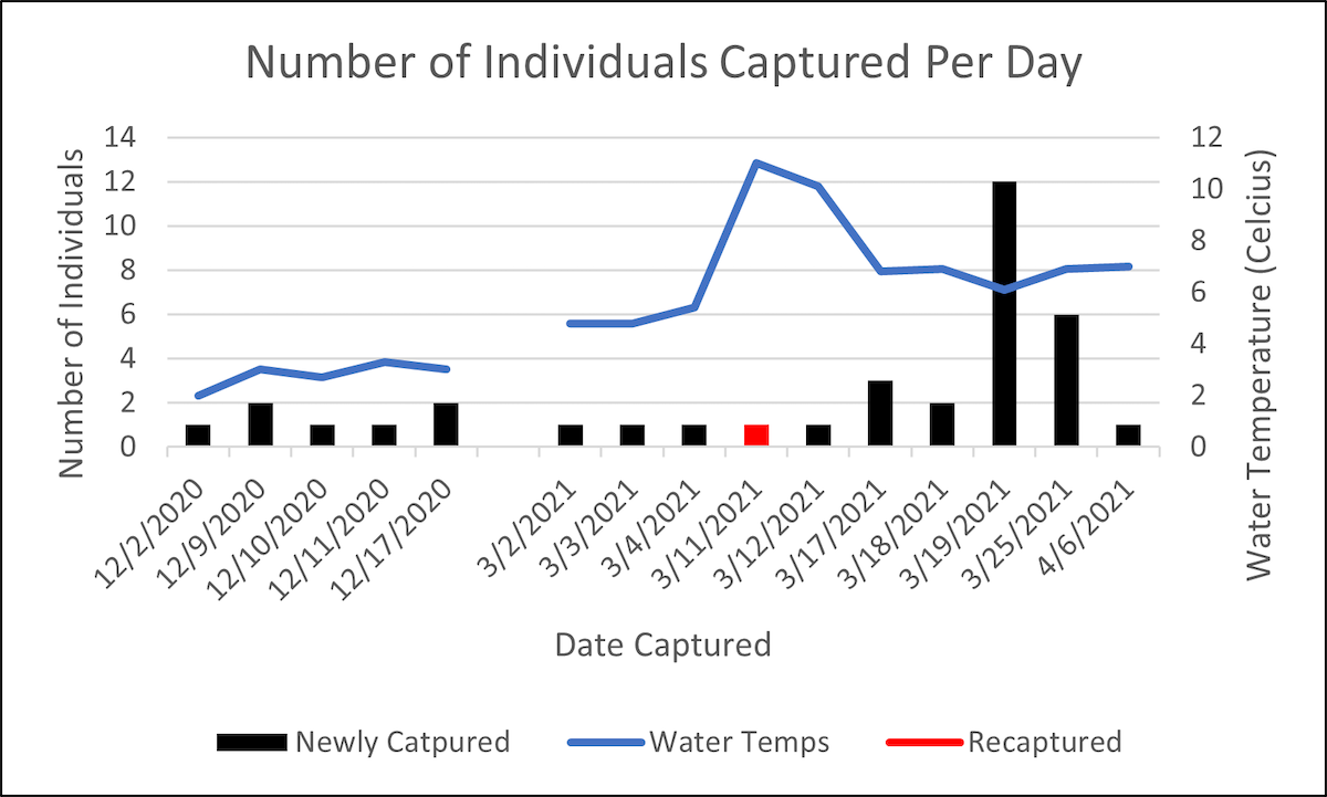 A bar graph comparing the number of captured individuals each day to water temperatures across the duration of the study