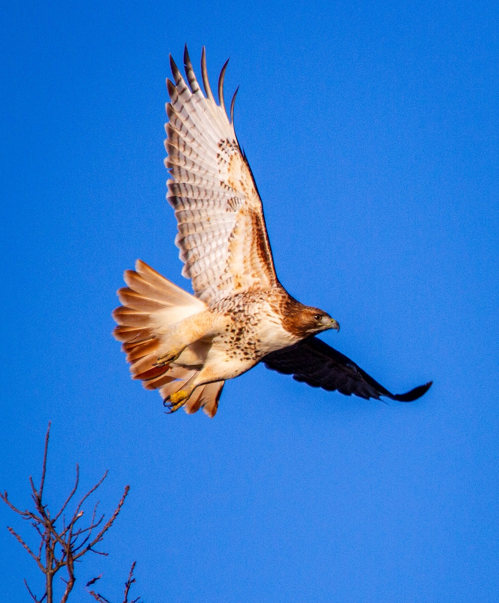 A hawk with brown speckles around its breast soars against a bright blue sky.