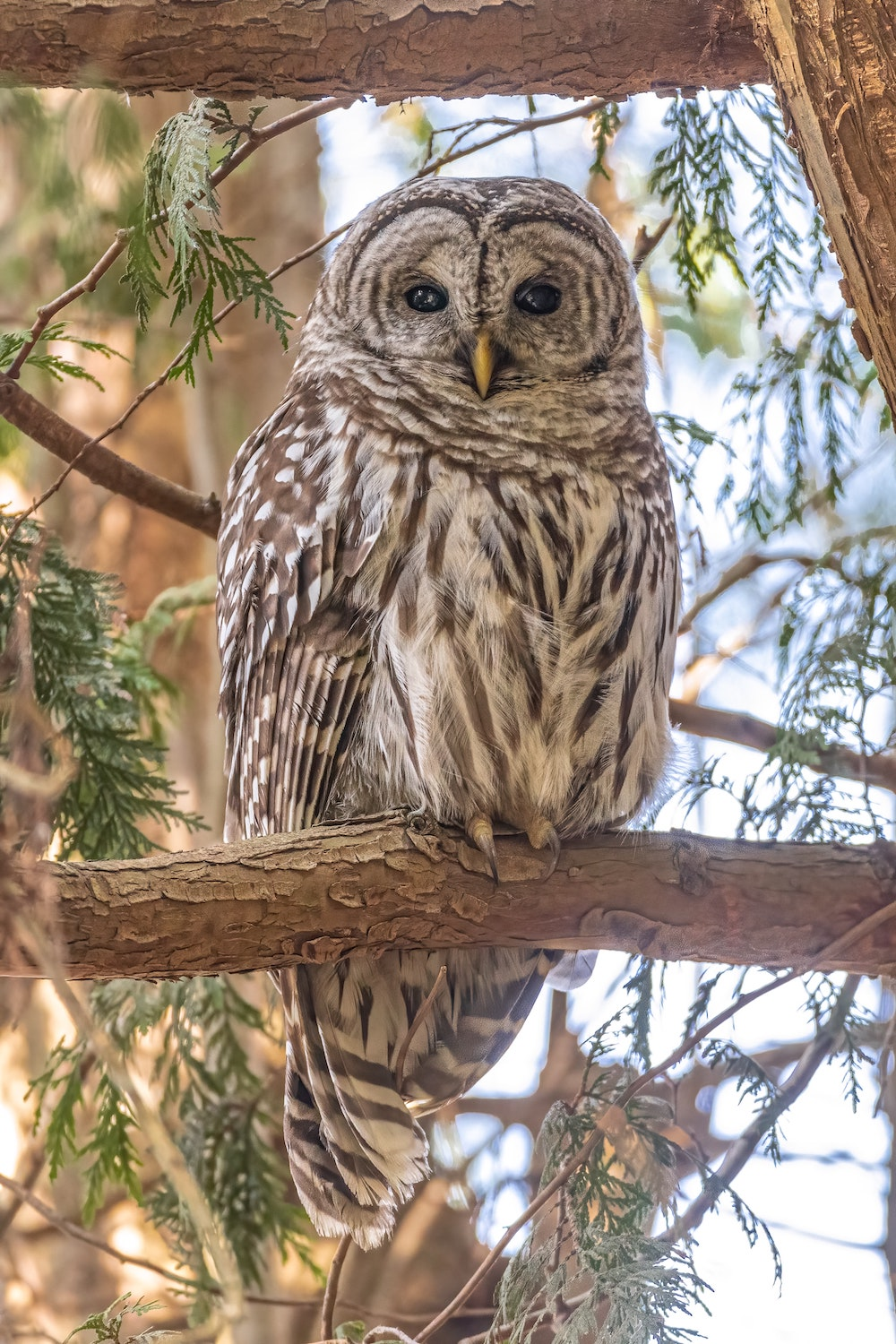 A brown, white, and gray owl perches in an evergreen tree.