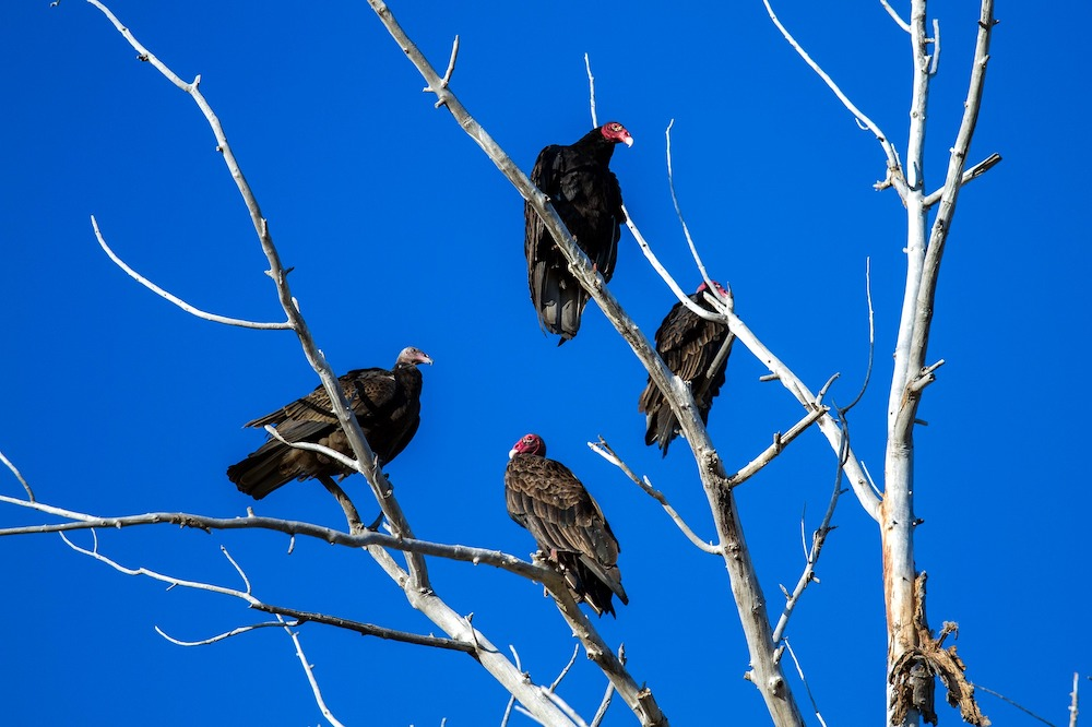 A group of four black vultures with red bald heads perch up in the top of a dead tree. In the background is a blue sky.