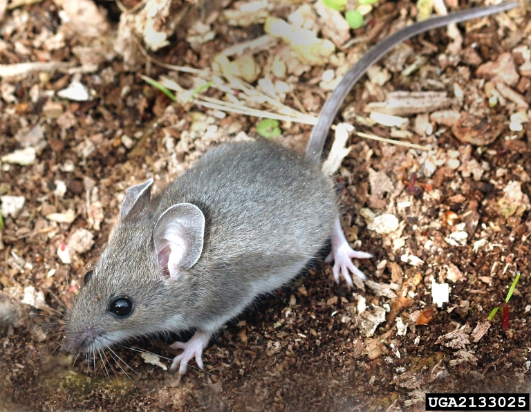 A gray mouse with white under its chin and tummy pauses on top of some mulch.