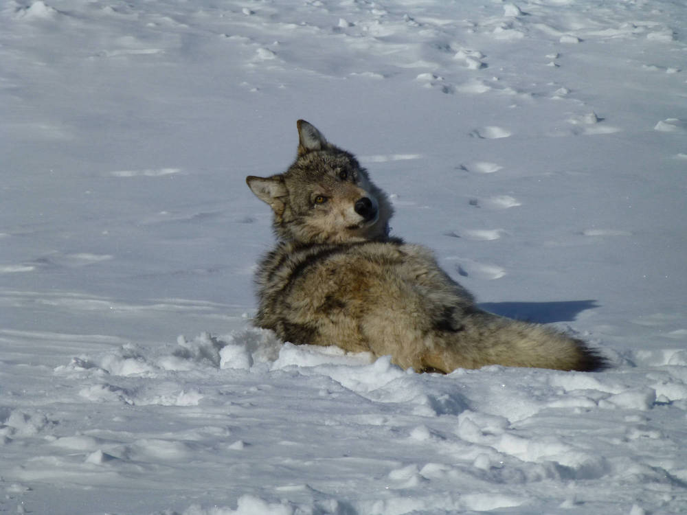 A gray wolf lays in a snowy landscape and looks over its shoulder. In the background is snow.