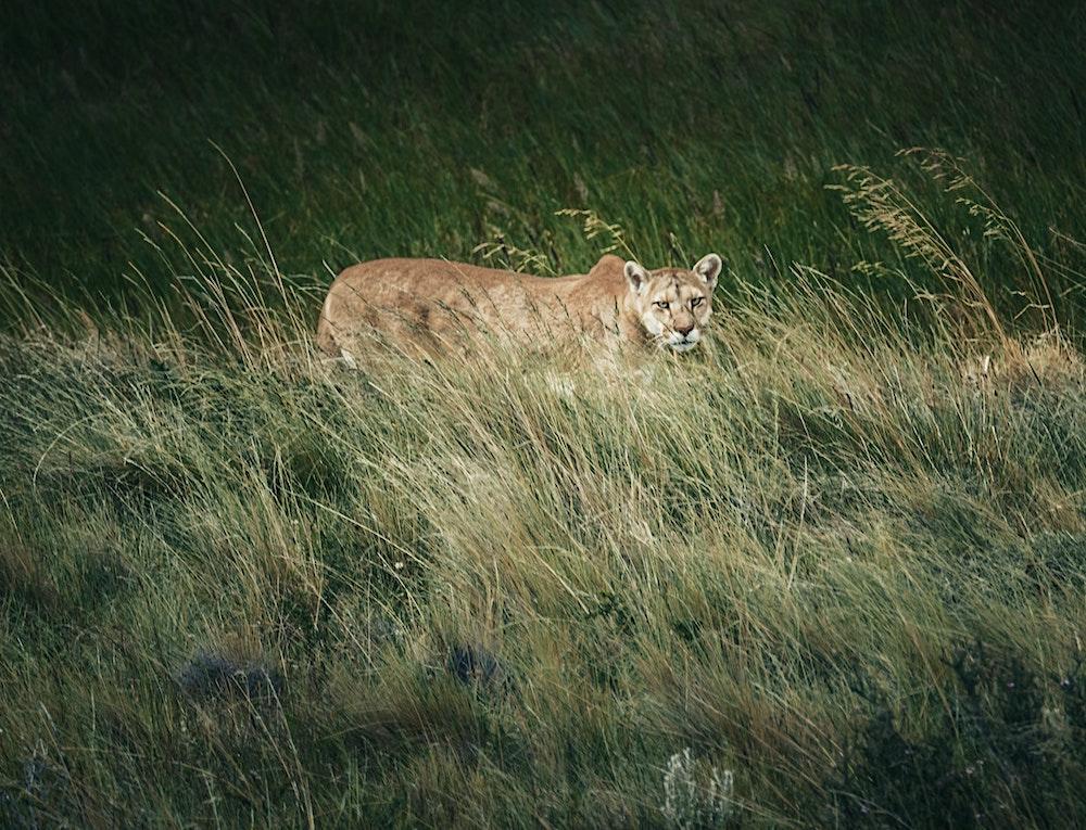A tan mountain lion walks through a grassy area.