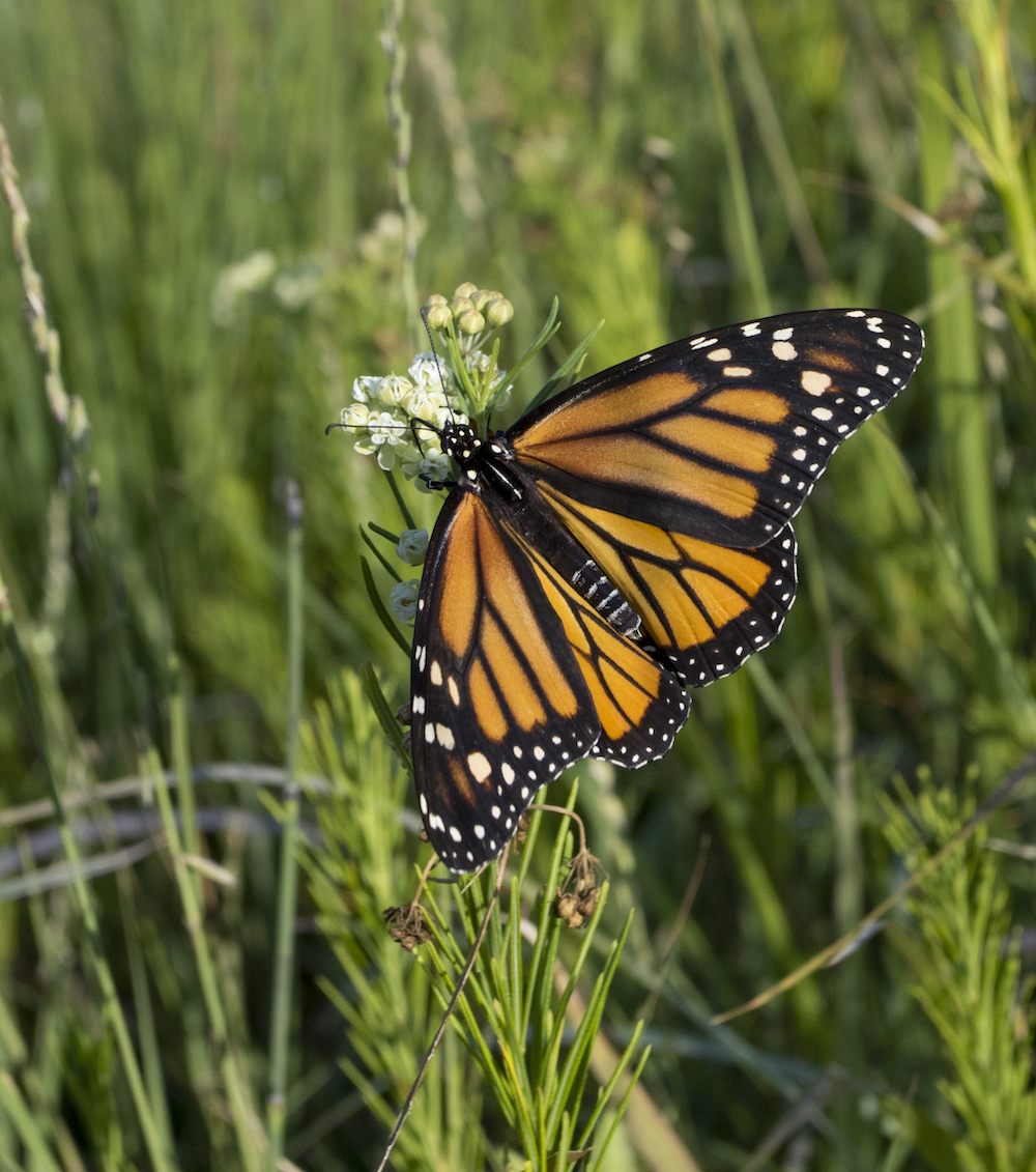 An orange, black, and white monarch butterfly nectars on a milkweed plant with thin leaves and white flowers. In the background is lush green vegetation.