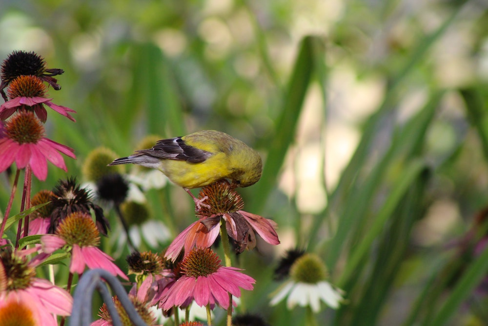 A gold finch with a yellow breast and black wings bends down to pluck a seed from a purple coneflower in a  garden.