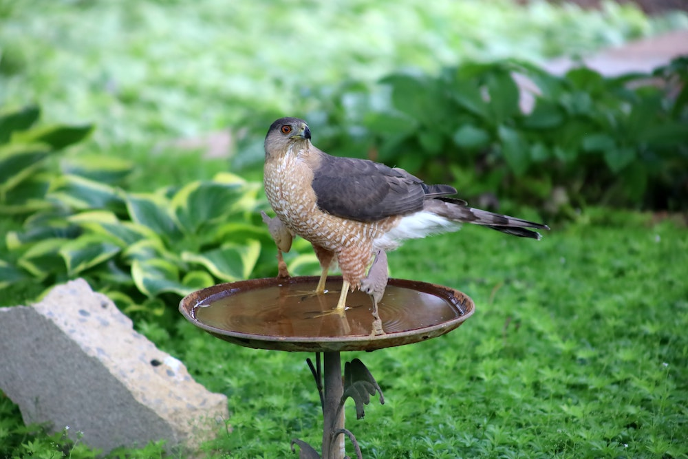 A hawk with gray wings and a tan speckled breast stands in a bird bath. Green lush vegetation is in the background.