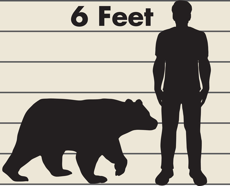 A graphic illustrated by silhouettes of a man at six feet tall and a black bear. The background has a horizontal line for every foot so the viewer can compare the size of the black bear to the man.