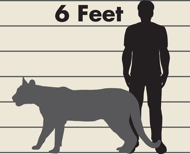 A graphic illustrated by silhouettes of a man at six feet tall and a mountain lion. The background has a horizontal line for every foot so the viewer can compare the size of the mountain lion to the man.