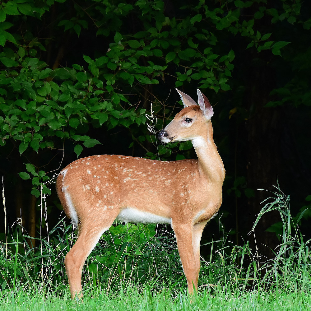 A young spotted fawn looks over its shoulder at the edge of a woodland. Green grasses are in the foreground.